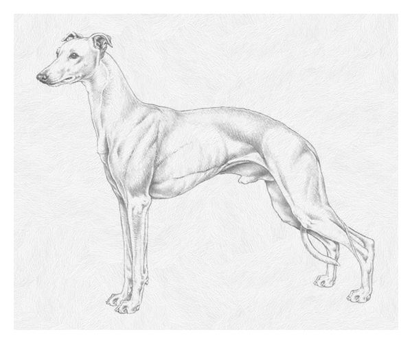 whippet image pencil drawing